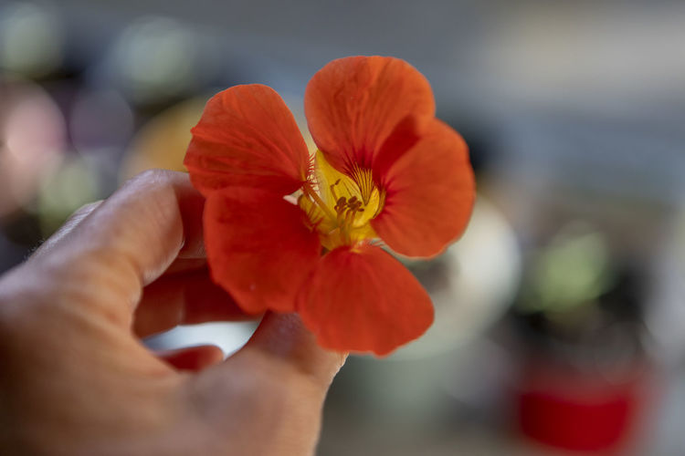 Cropped image of person holding red flowering plant