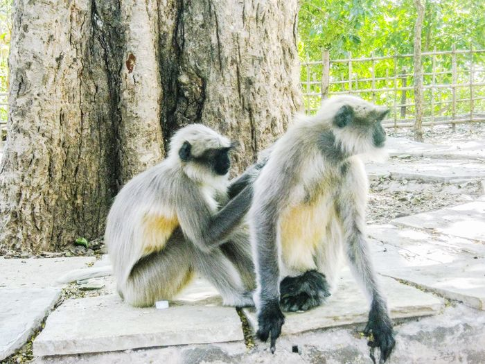 Pair of black langoor monkeys Wild Wildlife Monkey Monkeys Langoor Wildlife EyeEm Nature Lover EyeEm EyeEm Best Shots EyeEm Gallery EyeEmNewHere EyeEm Selects Eyeemphotography EyeEm Best Shots - Nature Sitting Close-up Primate Monkey Ape