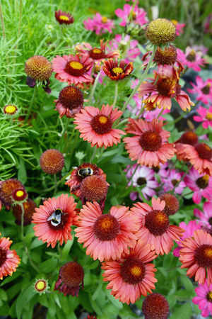 red pink echinacea flower in garden with bumble bee. Herbal Herbal Plant Echinacea Flower Summer Pink Color Pink Flower Pink Echinacea Purpurea Bumblebee Bumble Bee
