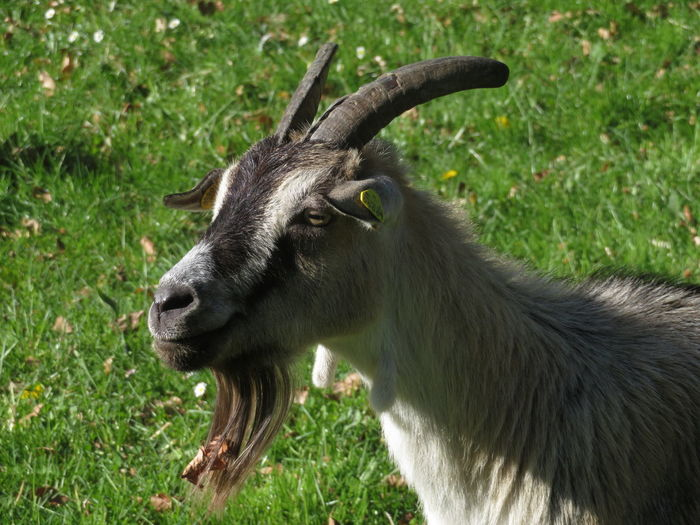 Goat Close-up Grass Green Color HEAD Grass Area Horned