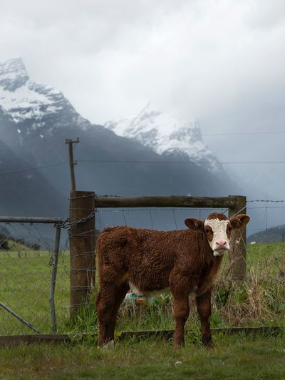 New Zealand cow in paradise near queenstown New Zealand Stunning View Clouds Low Lying Cloud Queenstown NZ Cow Mammal Animal Themes Animal Mountain Domestic Animals Domestic Pets