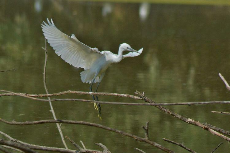 Egrets Animal Animal Themes Animal Wildlife Animals In The Wild Bird Day Egret Garzet Garzetta Nature No People One Animal Vertebrate Water