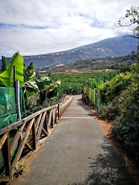 Banana plantations Tenerife Bananas Banana Plantation Fruits Mountain