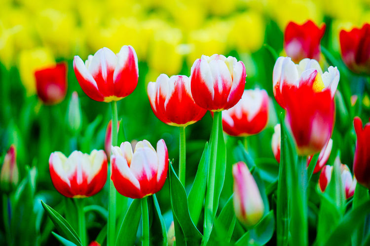 Beauty In Nature Blooming Close-up Day Flower Flower Head Focus On Foreground Fragility Freshness Green Color Growth Nature No People Outdoors Petal Plant Red Tulip