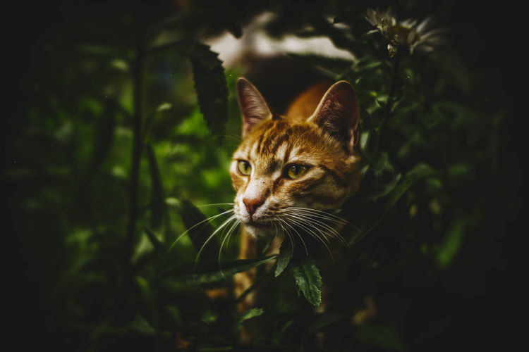 20170707 - Lurking Animal Themes Cat Cat Lovers Catoftheday Cats Cats Of EyeEm Catsofinstagram Cat♡ Close-up Day Domestic Animals Domestic Cat Feline Ginger Cat Looking At Camera Lurking Mammal Nature No People One Animal Outdoors Pets Plant Portrait Whisker