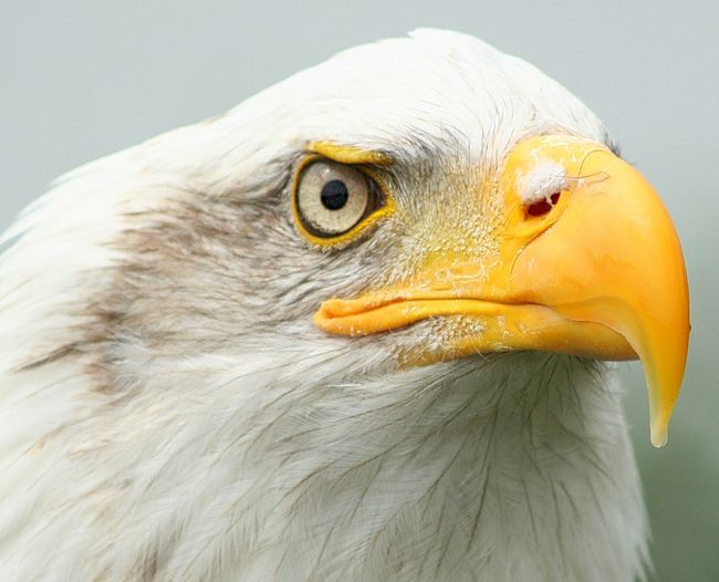 Extreme Close-Up Of Bald Eagle Looking Away