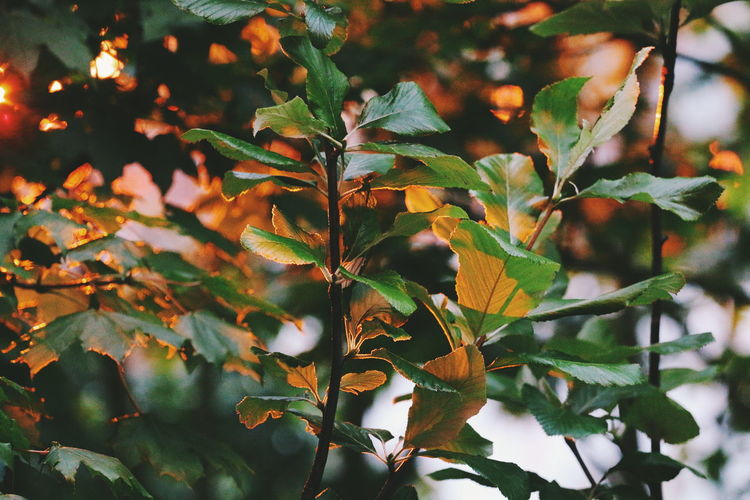 Fading light Leaf Nature Growth Plant Beauty In Nature No People Tree Day Outdoors Branch Close-up Freshness Summer