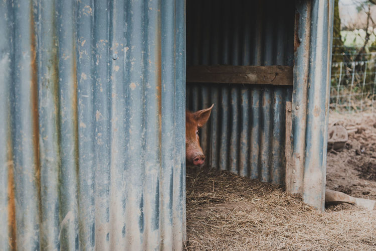 Mammal Domestic Animals Animal Themes Domestic Pets Animal One Animal Vertebrate No People Livestock Day Metal Agricultural Building Pig Farm Door Barn Entrance Barrier Security Outdoors Iron Stable Animal Head