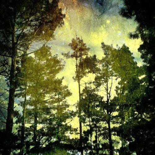 Pine tree skies