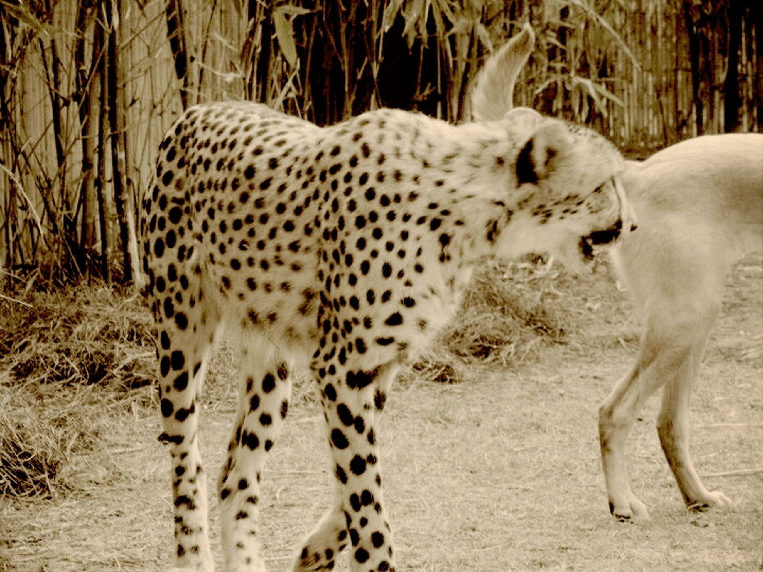 animal themes, mammal, animals in the wild, safari animals, one animal, wildlife, standing, herbivorous, animal markings, forest, zoo, field, two animals, giraffe, zoology, side view, leopard, big cat, zebra, day