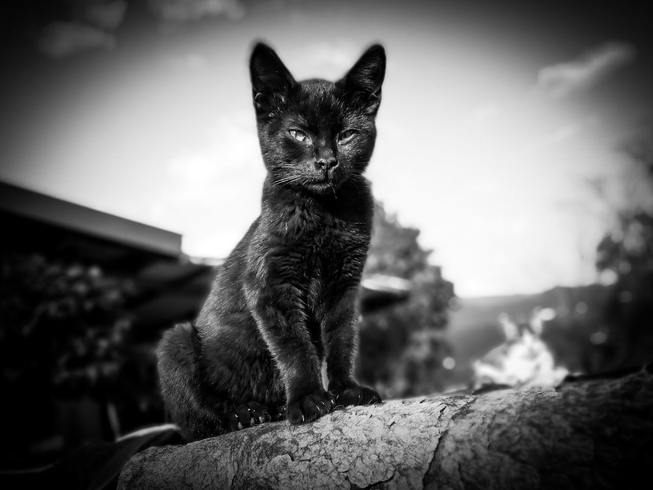 domestic cat, one animal, mammal, animal themes, sitting, feline, pets, looking at camera, no people, sky, portrait, outdoors, domestic animals, day, nature, close-up