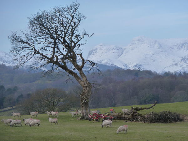 Cold Temperature Lake District Landscape Sheep Snow Snowcapped Snowcapped Mountain Tree Winter