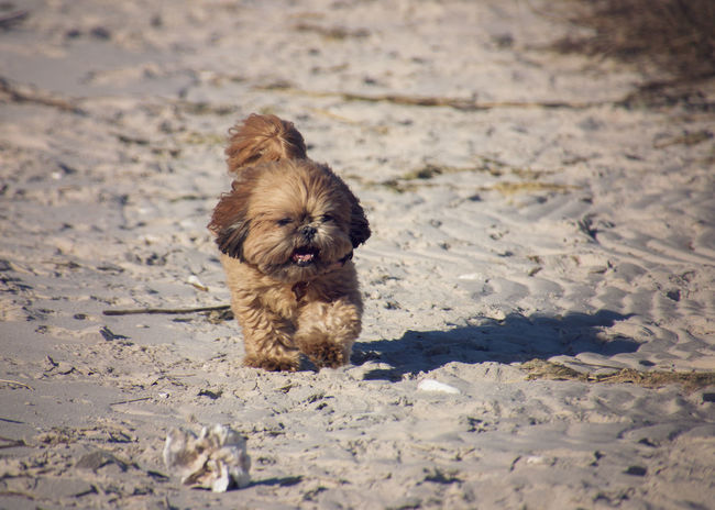 4 legged happiness Dog Run On The Beach Freedom Happy Joy Mammal Nature No People One Animal Running Shih Tzu Shih Tzu Love