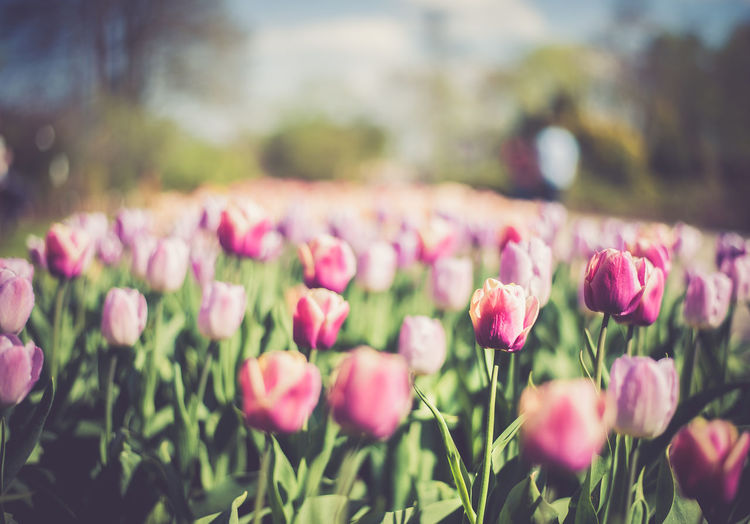 Field of pink tulips Beauty In Nature Blooming Close-up Crocus Day Field Flower Flower Head Fragility Freshness Growth Nature No People Outdoors Petal Pink Pink Color Plant Soft Focus Tulips