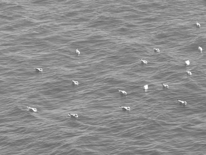 Large Group Of Birds Bnw Seabirds EyeEm Best Shots - Black + White Birds Black And White Marine Seabird Seabirds, Seabird Water High Angle View Black And White Photography In The Ocean Birds Photography