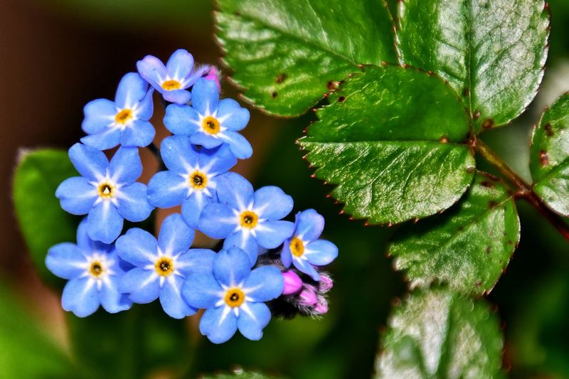 forget- me-
