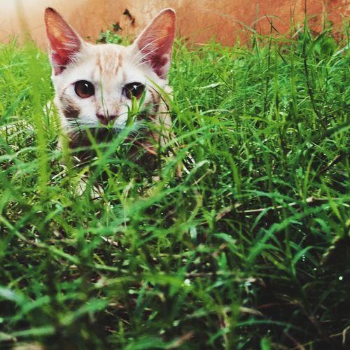 Cat in Grass Green Green Grass Pets Portrait Feline Looking At Camera Domestic Cat Animal Themes Grass Close-up Green Color Cat Animal Eye Animal Head  Animal Face Kitten EyeEmNewHere