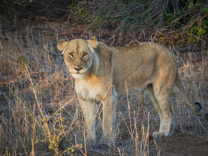 Portrait of lioness standing on field