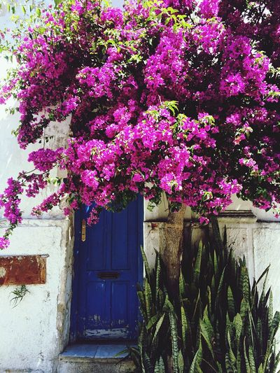 Growth Plant Door Building Exterior Flower Built Structure Doors Blue Door Flowers Flower Collection Getting Creative Getting Inspired Springtime House Purple Outdoors Nature No People Day Tree Fragility Beauty In Nature Blooming Freshness
