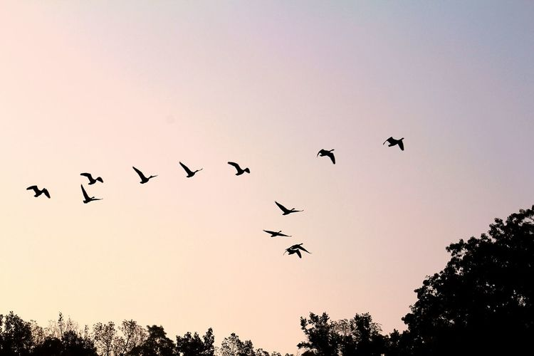 Flying High Free As A Bird Formation Geese In Flight Canadian Geese Soaring Up Above Geese Silhouettes Sky Capturing Freedom
