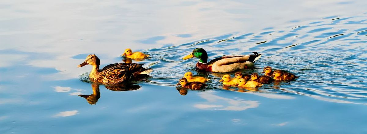 Family duck Family Animal Animal Family Animal Themes Animal Wildlife Animals In The Wild Beauty In Nature Bird Day Duck Floating On Water Group Of Animals Nature No People Outdoors Poultry Reflection Swimming Vertebrate Water Waterfront Young Animal