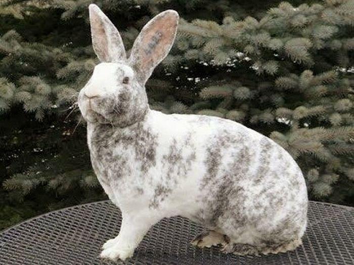 Кролик Рекс Królik Animals Rabit