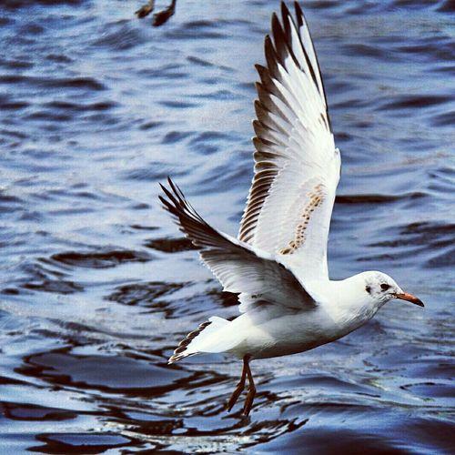 Hach💙 immer wieder Elegant anzusehen..... Diese Möwen aber auch. Taking Photos Followme Möwenleckerbissen Möwe Seagulls Norddeutschland Germany Animals Hello World Photography