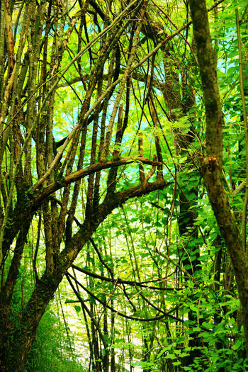 Tree Forest Green Color Growth Plant Nature Beauty In Nature Tranquility WoodLand No People Branch Outdoors Non-urban Scene Tranquil Scene