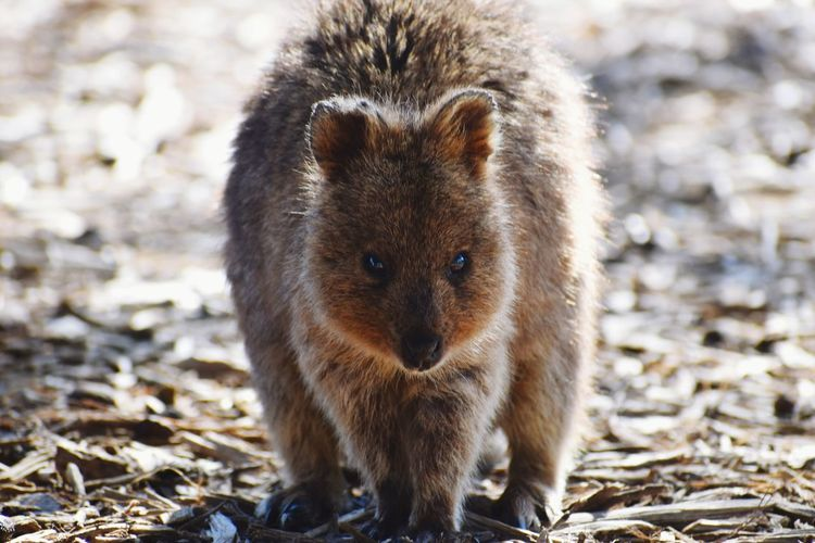 Close-up portrait of quokka