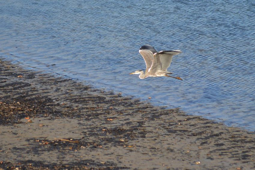 Herons on the Plym estuary in the Autum sunshine Capture The Moment Serenity Animal Themes Animals In The Wild Beach Bird Feather  Fishing Flap Flying Heron In Flight Lake Mid-air Midair Nature Ocean One Animal Outdoors River Soaring Spread Wings Wading Water Water Bird