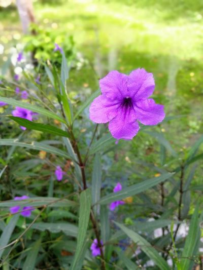 Beauty In Nature Blooming Close-up Day Field Flower Flower Head Fragility Freshness Grass Growth Nature No People Outdoors Periwinkle Petal Petunia Plant