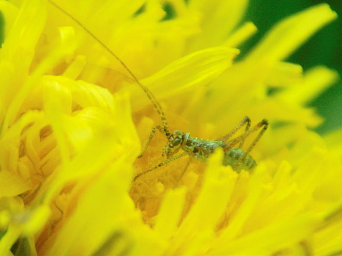 Animal Themes Beauty In Nature Bush-cricket Close-up Cricket Dandelion Flower Flower Head Insect Larva  Nature Petal Phaneroptera Falcata Wildlife Yellow タンポポ つゆむし 幼虫