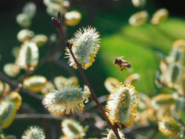 Honey Bee Going to Work Lithuanian Nature Sallow Beauty In Nature Bee Blooming Close-up Day Flower Fragility Freshness Goat-willow Growth Honey Bee Nature No People Outdoors Plant Pollination