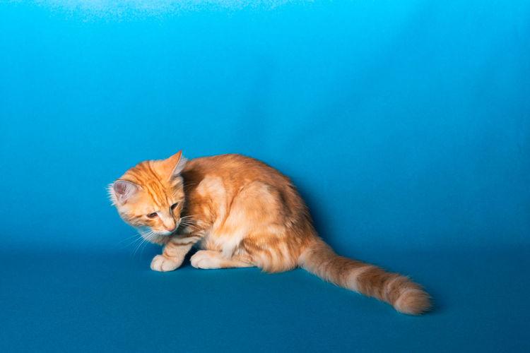 Cat lying on blue background