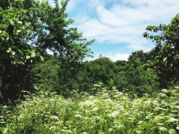 Tree Nature Growth Day No People Sky Tranquility Outdoors Beauty In Nature Forest Vegetation Scenics Grass White Wild Flowers
