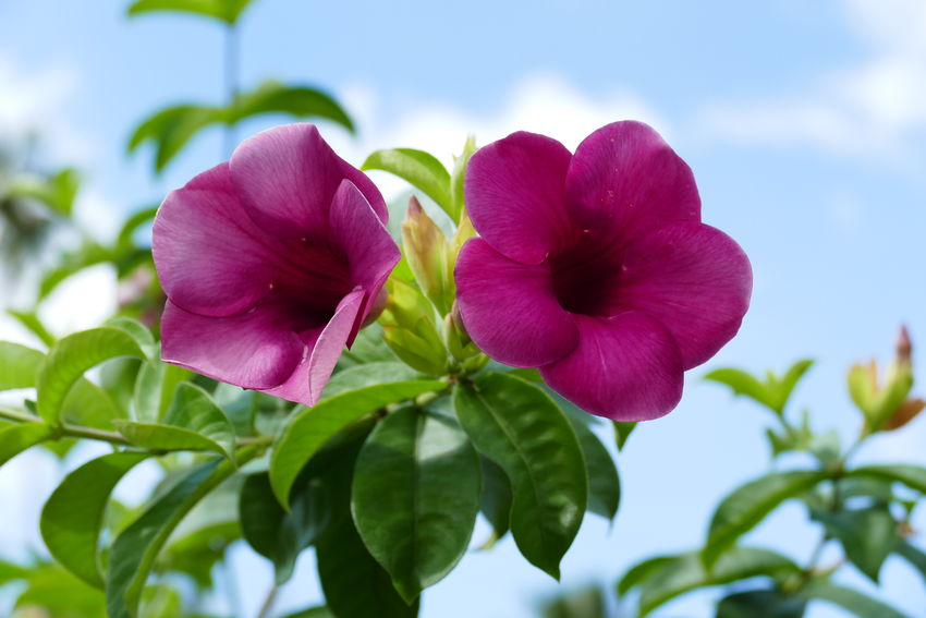 Allamanda Blanchetii Beauty In Nature Blooming Botanical Close-up Flora Flower Flower Head Flowers In Thailand Fragility Growth Leaf Nature Outdoors Petal Pink Color Plant Tropical Plants