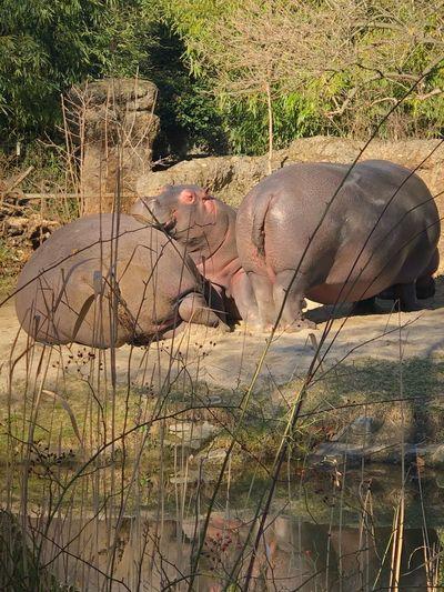 Hippo Rhino Zoo