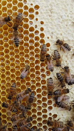 High Angle View Day No People Outdoors Honeycomb Close-up Nature Beeswax Bee 🐝 Bees Bees And Flowers Beehive Bees Photography Hobbies HoneyBee Honey Honeycomb Honeybees Honey ❤ Honeycombs Honey Comb Bees And Honey Bees Making Honey Bees Knees Beesofinstagram