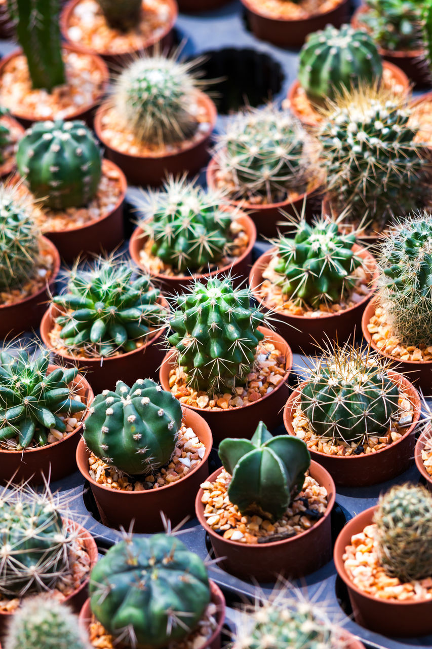 succulent plant, cactus, thorn, spiked, growth, potted plant, plant, green color, sharp, no people, high angle view, barrel cactus, nature, day, close-up, full frame, beauty in nature, natural pattern, outdoors, backgrounds, plant nursery, flower pot