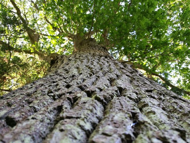 Tree Low Angle View Nature No People Day Growth Outdoors Tree Trunk Forest Branch Beauty In Nature Close-up Leica Huawei P9 EyEmNewHere Beauty In Nature Tree Low Angle View