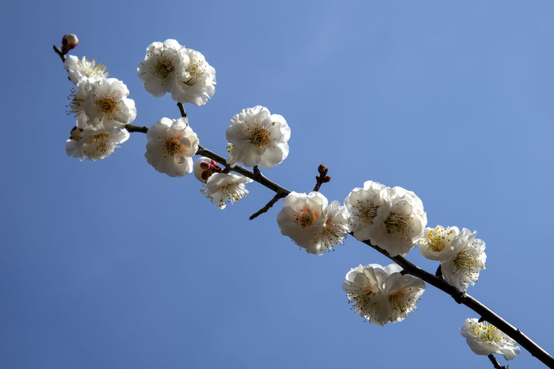 Low angle view of white cherry blossoms against clear blue sky