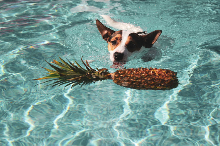 Jack russell terrier dog about to bite into a pineapple while swimming in an outdoor pool