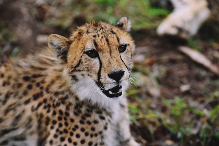 Cheetah, South