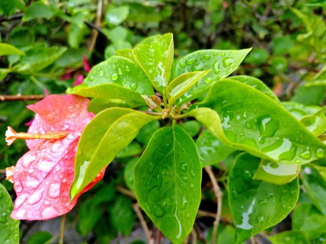 Leaf Green Color Wet Nature Drop Focus On Foreground Close-up Rain Beauty In Nature Outdoors Plant No People Growth Day RainDrop Freshness Water No Filter Shotononeplus Onepluslife Oneplus3 DuaEnamKosongLima