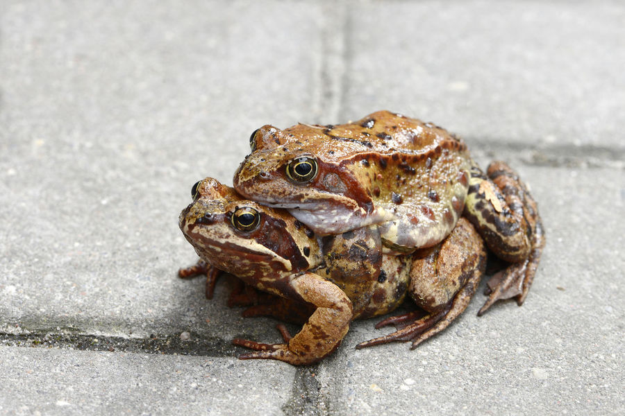 Amphibia Animal Themes Animal Wildlife Clouse-up Isolated Nature No People Springtime Toad