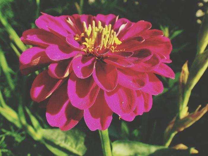 Цинния ! 🌸 Flower Collection Flowers, Nature And Beauty Flowers,Plants & Garden владивосток Россия Nature Flower Flowerlovers Flowers цинния