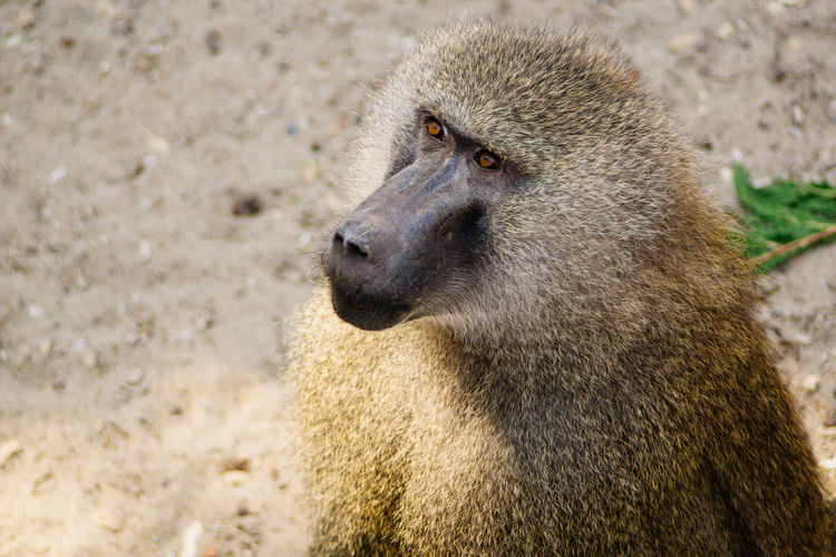 Close-Up Of Baboon On Field