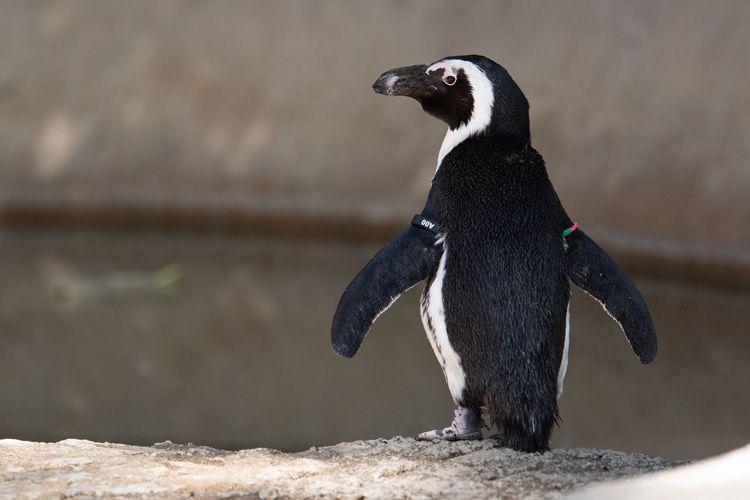 EyeEm Selects Penguin Bird Animal Wildlife One Animal Vertebrate Nature Zoology