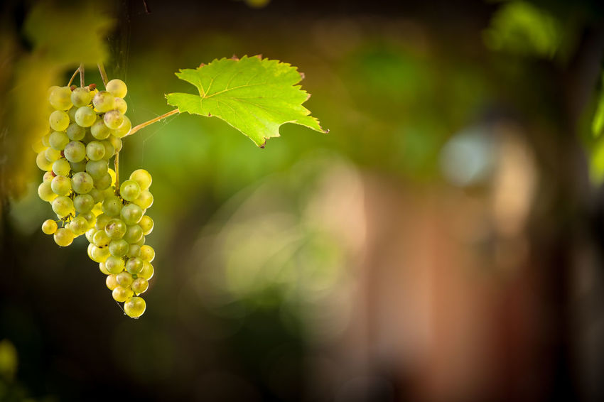 Plant Growth Nature Freshness Plant Part Leaf Close-up Beauty In Nature Day Focus On Foreground Green Color Food And Drink No People Outdoors Food Agriculture Fruit Grape Vineyard Vulnerability  Winemaking