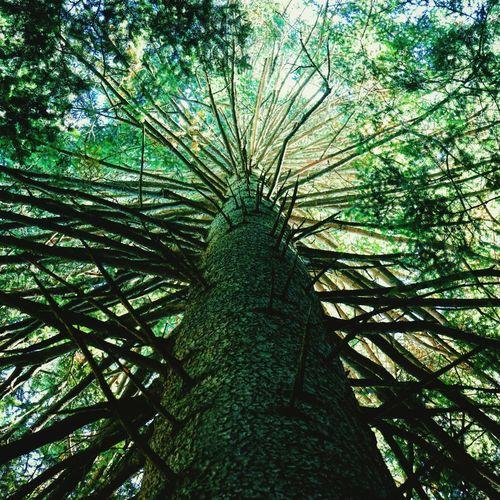 Big old tree in norway